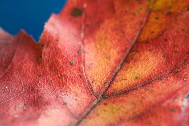 Red-on-blue-maple.jpg