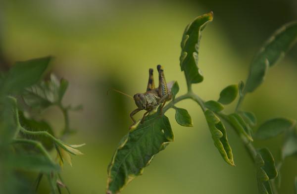 Grasshopper (Aug 26, 2006)