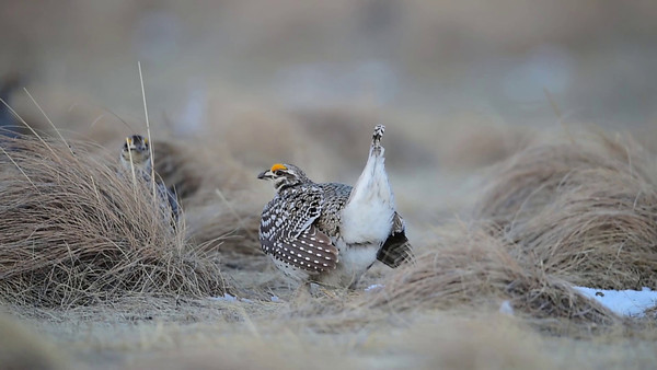 4-14-14 Sharp-tail Grouse Videos