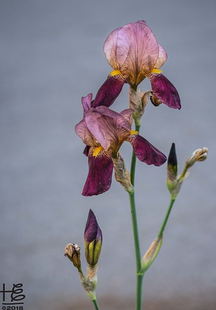 The Sacred Iris