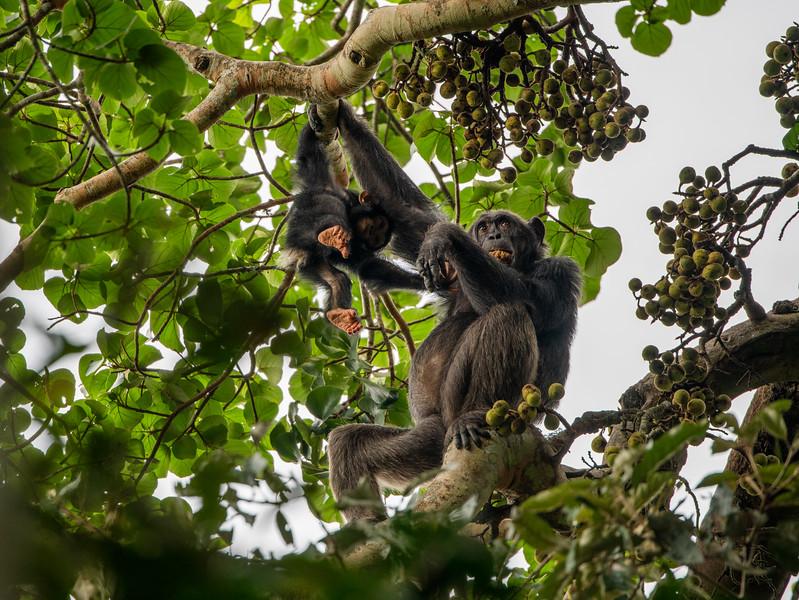 Uganda_T_Chimps-1296.jpg