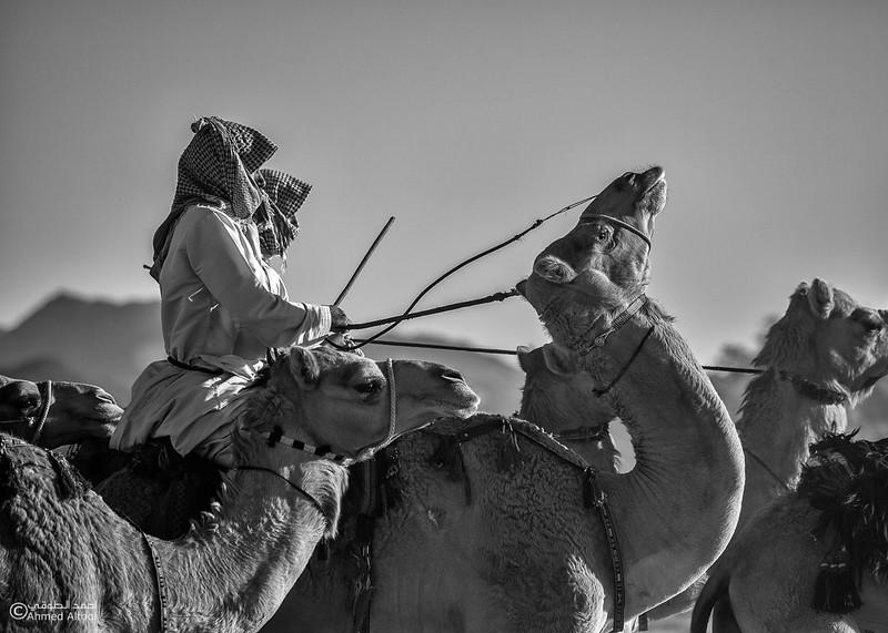 IMG_1220 copy2-camels- B&W.jpg