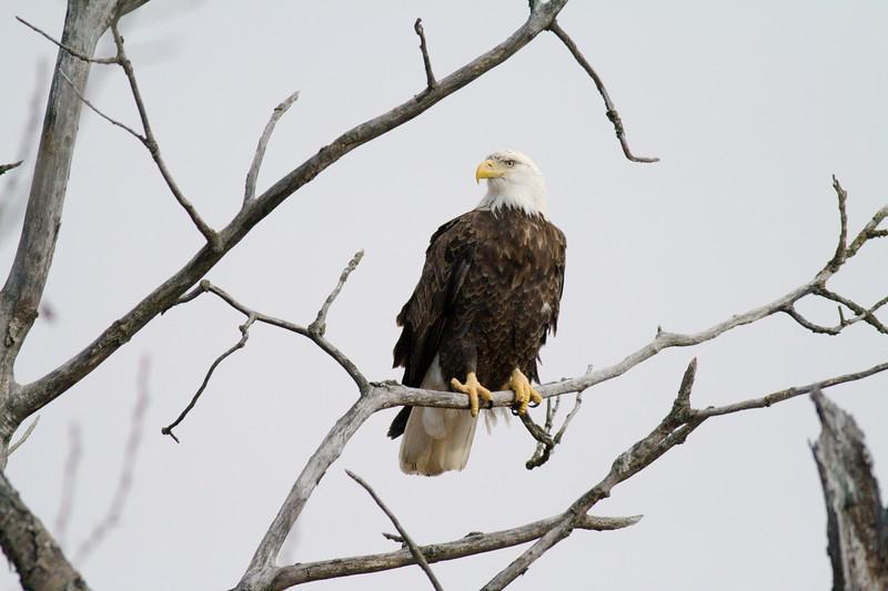 Adult Bald Eagle waits for his/her chance at a deer carcass [December; Sax-Zim Bog, Minnesota]