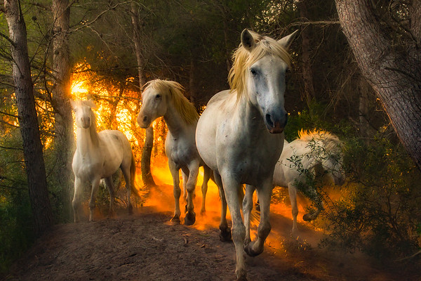 Camargue Horses & Bulls