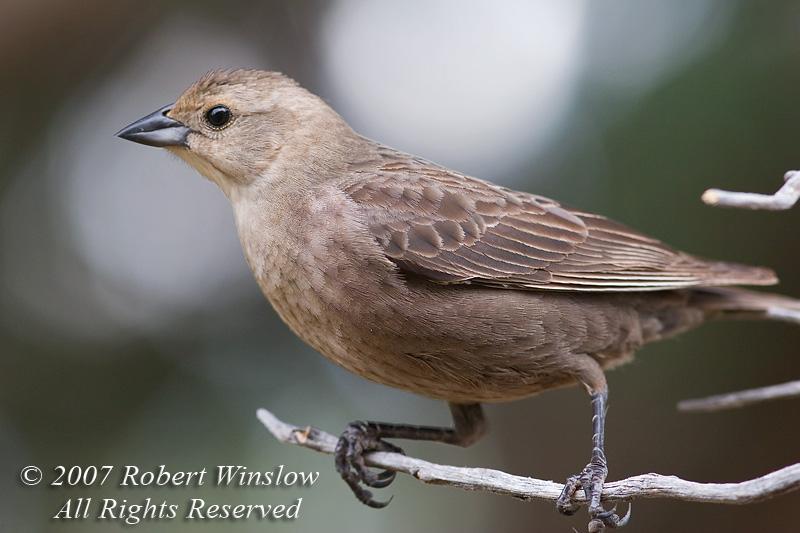 Female Brown-headed Cowbird, Molothrus ater, La Plata County, Colorado, USA, North America