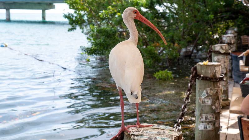 Florida-Keys-Islamorada-Robbies-Marina-Hungry-Tarpon-03.jpg