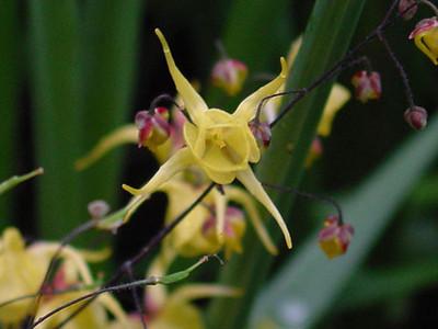 Epimedium davidii close-up