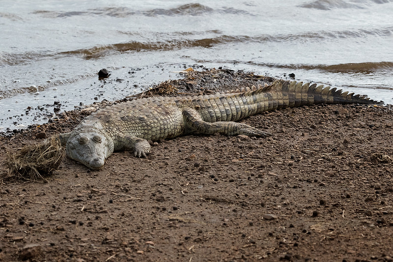 Crocodile 1702260129.jpg