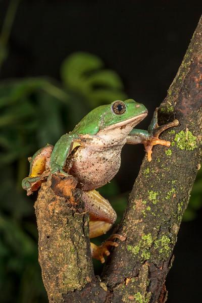 Mexican Dumpy Frog,  Pachymedusa dacmicolor