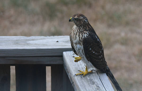 Juvenile Hawk 8.13.2016