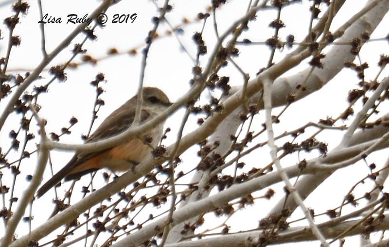 Female Vermillion Flycatcher - 02/26/2019 - Luckie Park, Twentynine Palms
