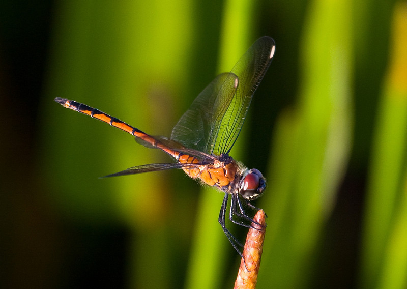 four spotted pennant female