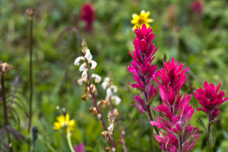 Splitleaf Indian Paintbrush - Castilleja rhexiifolia 1.jpg