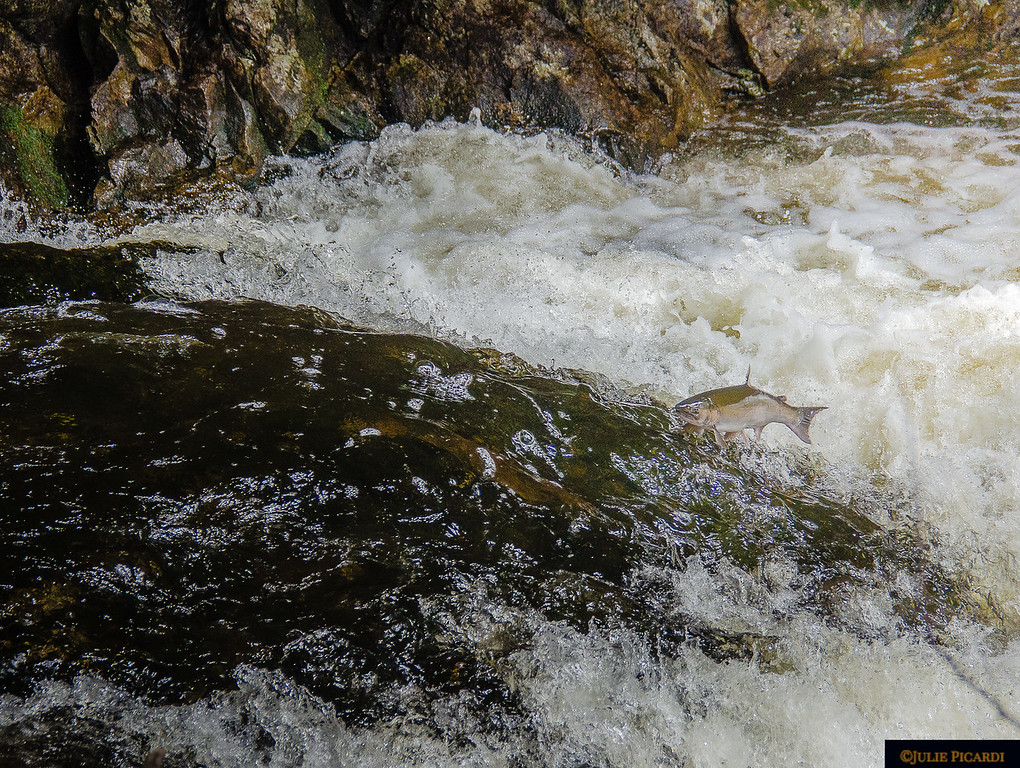 Another salmon makes his way up the falls....