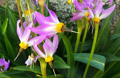 High Sierra Wildflowers
