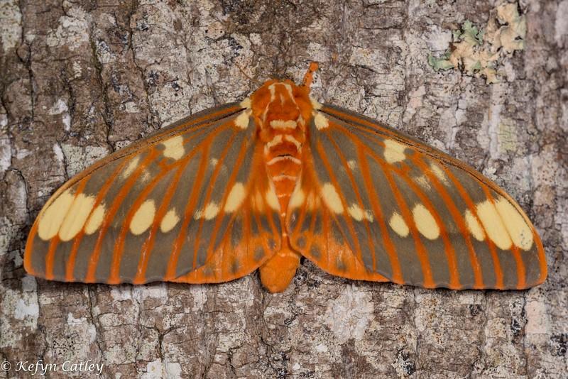 LEPIDOPTERA: Saturniidae:  regal silk moth, Citheronia regalis