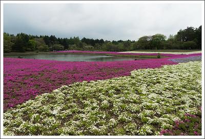 Phlox fields