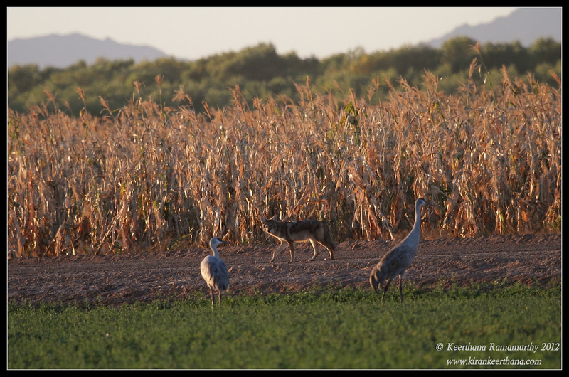 Coyote stalking the sandhill cranes, Cibola National Wildlife Refuge, Arizona, November 2012