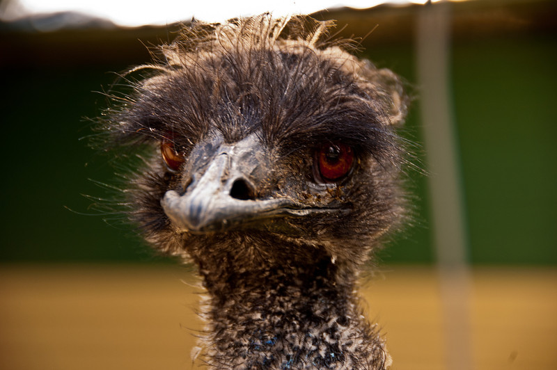 This emu was a perfect candidate for a photo shoot. What an incredible looking bird.