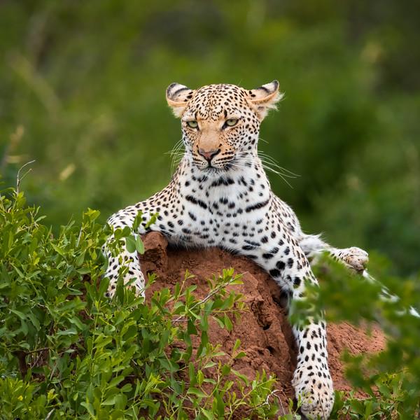 Leopard Kruger National Park - 12x12 Metal Print $80