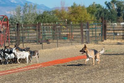 BSCA Herding Tests AKC 09-28-2017