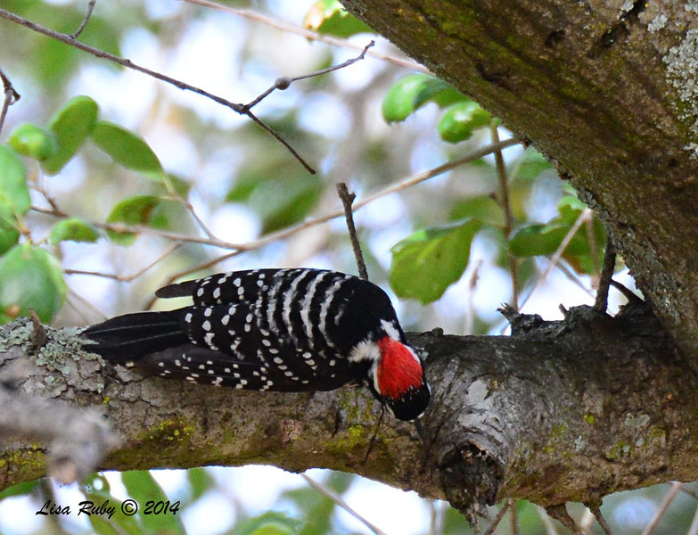 Interesting view of the back of a Nuttall's Woodpecker's head - 2/16/14 - Dos Picos Park