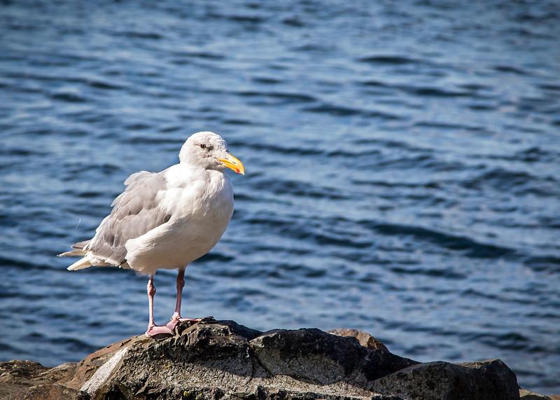 Gull_03_F.jpg