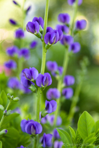 funny, this flower's name says blue but its look says purple