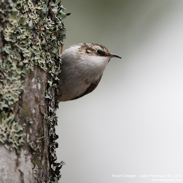 Brown Creeper - Upper Peninsula, MI, USA