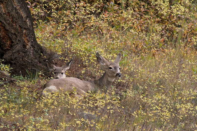 A Mule Deer fawn sticks closer to its mother [September; Yellowstone National Park, Wyoming]