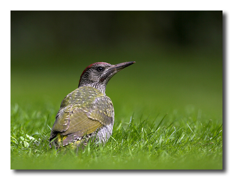 Green woodpecker