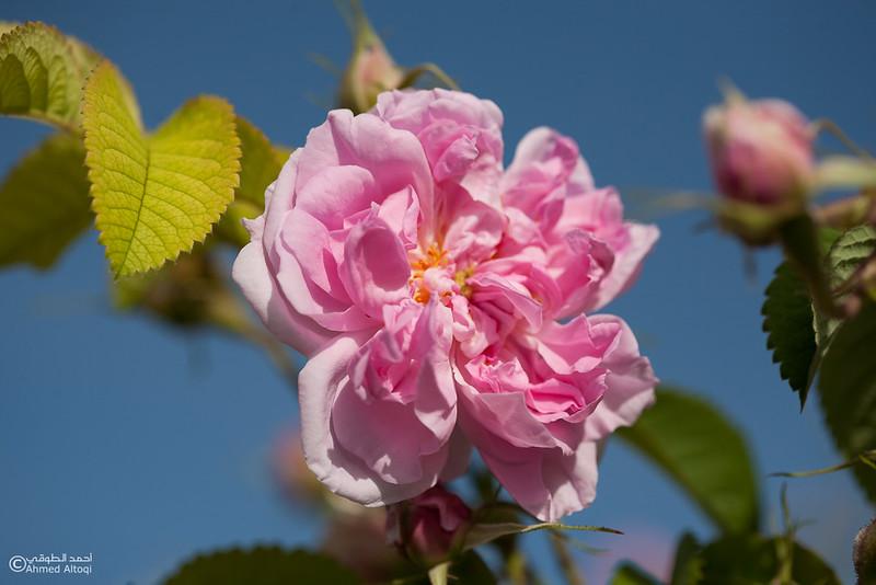 Roses Water (67)-Aljabal Alakhdhar-Oman.jpg