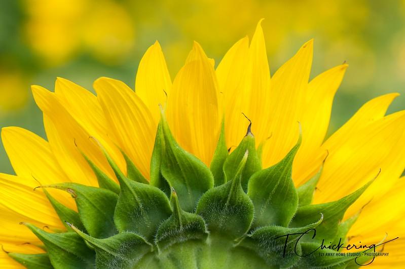 Sunflower Seven-1505698004463.jpg