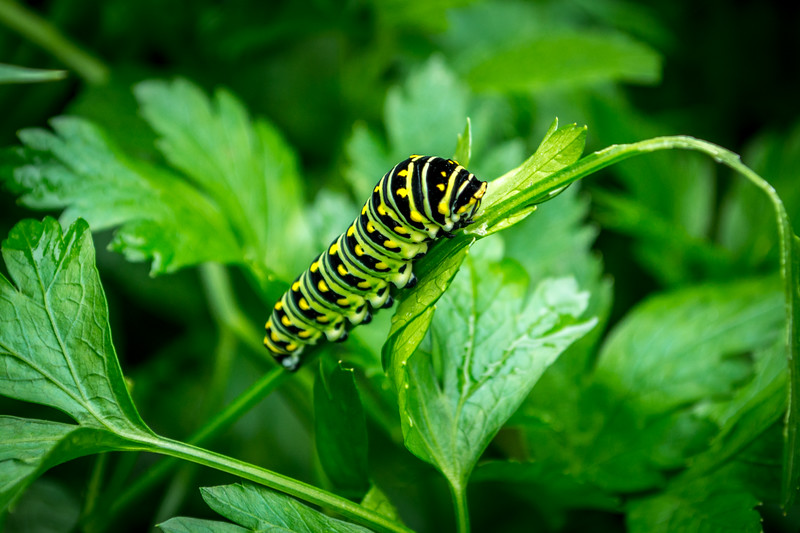 black swallowtail worm-5507.jpg