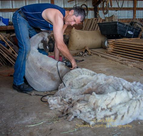Oregon Sheep Shearing 2015