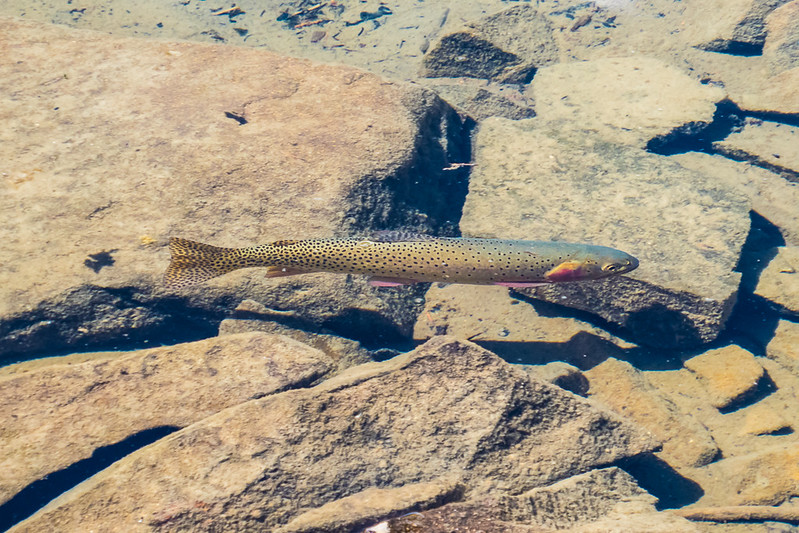 Trout in the Very clear water