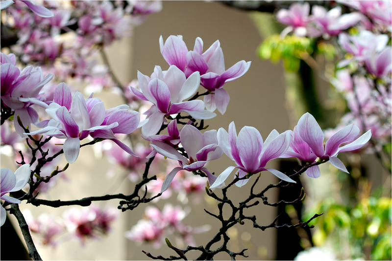 20120323_magnolia_05.png