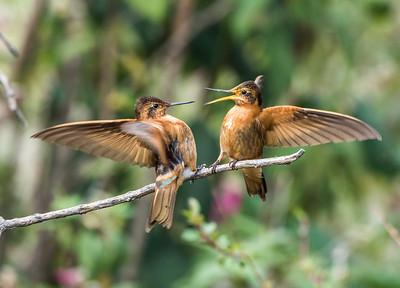 Birding Ecuador