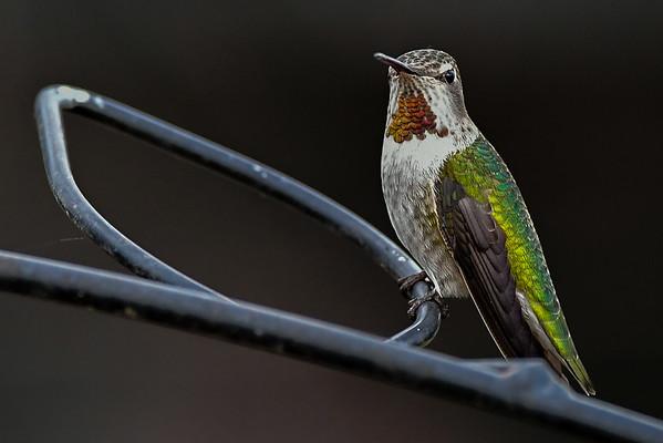 11-19-16 Anna's Hummingbird - RBS