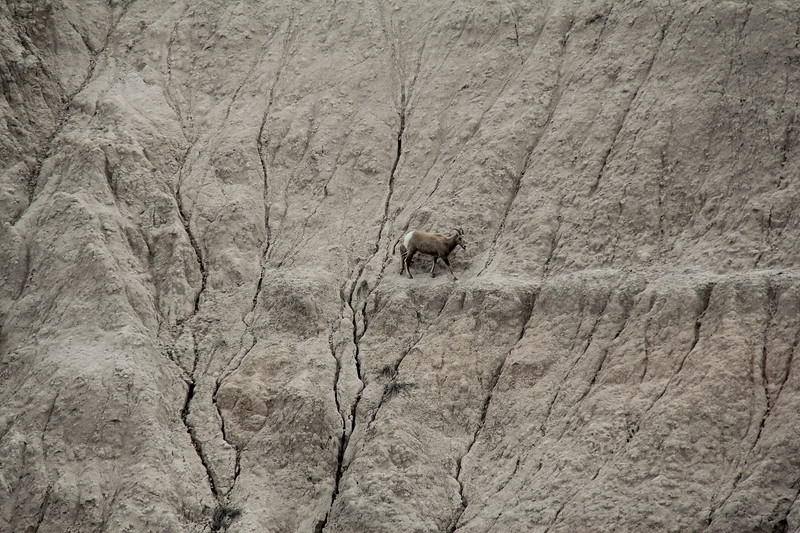 20140523-145-BadlandsNP-MountainGoats.JPG