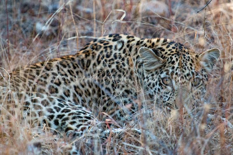 Leopardpeeking.jpg