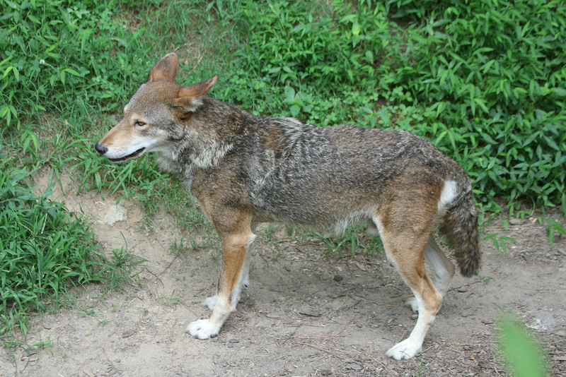 best photo I have ever gotten of one of the red wolves