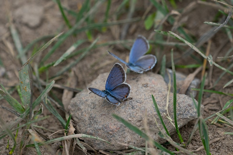 Eastern Tailed Blue butterfly, in Area 5 (Photo by Chelsea Marcantonio)