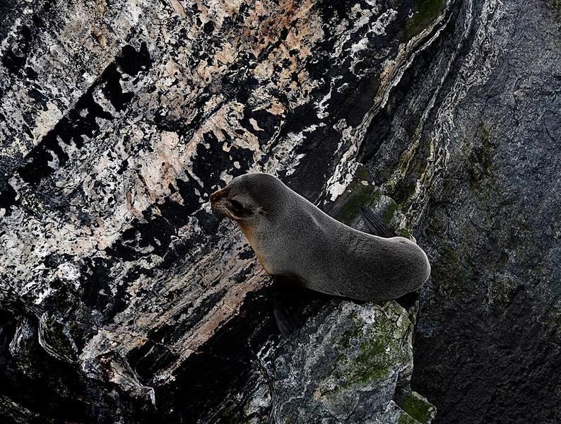 Fur Seal.jpg
