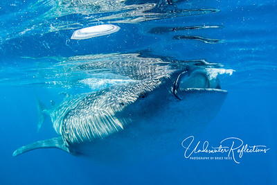 Aug 2014 - Whale Sharks of Isla Mujeres