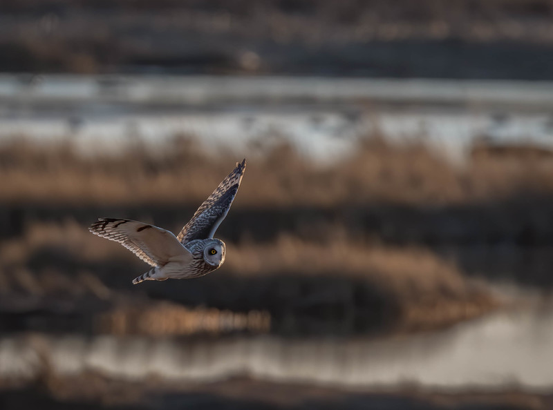 _5006136-Edit Short-eared Owl fly by wing tip up.jpg