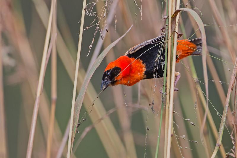 red bishop w grass in beak.jpg