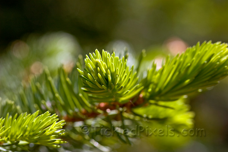Spruce - New Growth