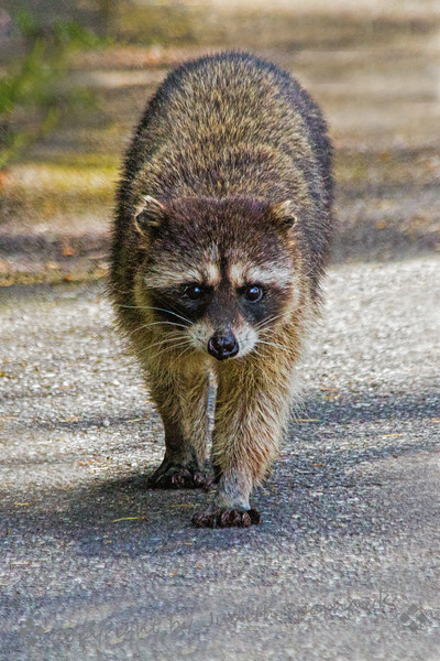 Racoon Stare