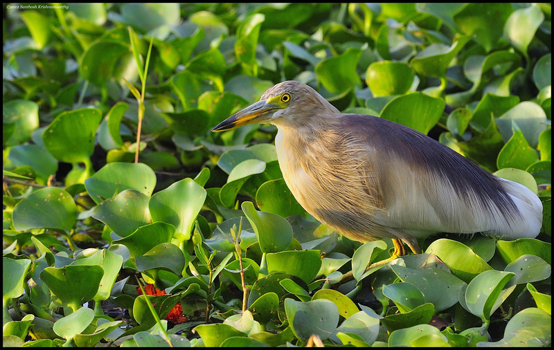 Pond heron......